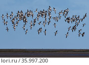 Brent Geese (Branta bernicla) flock flying low over tidal mudflats. Holy Island / Lindisfarne, Northumberland, England, UK. November. Стоковое фото, фотограф Roger Powell / Nature Picture Library / Фотобанк Лори