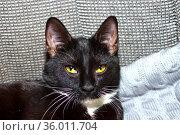 Черный котенок с белой шеей крупным планом. Стоковое фото, фотограф Андрей Атрощенко / Фотобанк Лори