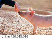 Happy inquisitive piglets roam free in Gundagai, NSW, Australia. Стоковое фото, фотограф Zoonar.com/Chris Putnam / easy Fotostock / Фотобанк Лори