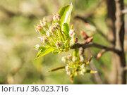 Pear flowers in buds. Стоковое фото, фотограф Дмитрий Тищенко / Фотобанк Лори