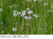 Many Dandelion with a white seeds on the lawn. Стоковое фото, фотограф Володина Ольга / Фотобанк Лори