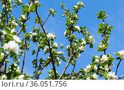 Ветви яблони с белыми цветами, на фоне голубого неба. Весенний день, солнечно. Стоковое фото, фотограф E. O. / Фотобанк Лори