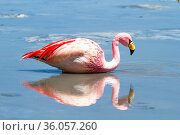 Andean flamingo (Phoenicoparrus andinus) reflected in water, South Lipez, Bolivia. Стоковое фото, фотограф Maxime Aliaga / Nature Picture Library / Фотобанк Лори