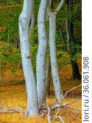 Wunderschöne grosse Bäume mit silbernen Stämmen auf Rügen. Silver... Стоковое фото, фотограф Zoonar.com/Christine Nöh / easy Fotostock / Фотобанк Лори