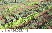 Farm with vegetable beds of beets, spinach, onions and cabbage. Стоковое видео, видеограф Яков Филимонов / Фотобанк Лори