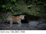 Jaguar (Panthera onca) stands in water while checking out a clay lick in Yasuni National Park, Ecuador. Amazon Rainforest. Стоковое фото, фотограф Karine Aigner / Nature Picture Library / Фотобанк Лори
