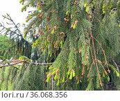 Молодые побеги ели (Picea) Стоковое фото, фотограф Мария Кылосова / Фотобанк Лори