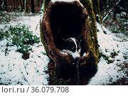 The sad puppy corgi dog seats in hollow tree. Стоковое фото, фотограф Zoonar.com/Max / easy Fotostock / Фотобанк Лори