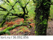 Portuguese oak tree (Quercus faginea) covered in moss, Los Alcornocales Natural Park, Andalusia, southern Spain, November. Стоковое фото, фотограф Andres M. Dominguez / Nature Picture Library / Фотобанк Лори