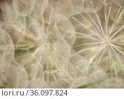 Flora of Gran Canaria - Tragopogon porrifolius, oyster plant natural macro floral background. Стоковое фото, фотограф Tamara Kulikova / Фотобанк Лори
