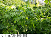 Greenhouse with rows of bitter cucumber. Стоковое фото, фотограф Яков Филимонов / Фотобанк Лори