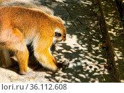Watering. Toque macaque (Macaca sinica) (feeding female) tries to... Стоковое фото, фотограф Zoonar.com/Maximilian Buzun / easy Fotostock / Фотобанк Лори