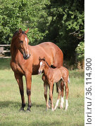 """Graditz stud, mare and foal in a paddock"" (2020 год). Редакционное фото, агентство Caro Photoagency / Фотобанк Лори"