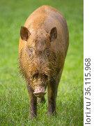 Bearded Pig (Sus barbatus), Danum Valley, Sabah, Borneo. Стоковое фото, фотограф Alex Hyde / Nature Picture Library / Фотобанк Лори