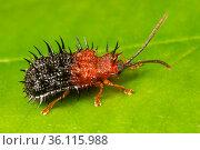 Spiky leaf beetle (Dactylispa sp.), Danum Valley, Sabah, Borneo. Стоковое фото, фотограф Alex Hyde / Nature Picture Library / Фотобанк Лори