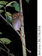 Western / Horsfield's tarsier (Tarsius bancanus) hunting invertebrate prey in rainforest understory vegetation at night. Danum Valley, Sabah, Borneo. Стоковое фото, фотограф Alex Hyde / Nature Picture Library / Фотобанк Лори