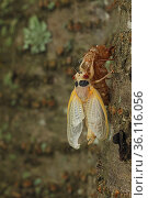 17 year Periodical cicada (Magicicada septendecim) teneral adult Brood X cicada, shortly after molting with exuvia, Maryland, USA, June 2021 Sequence 10 of 12. Стоковое фото, фотограф John Cancalosi / Nature Picture Library / Фотобанк Лори