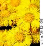 Early North spring. foalfoot (Tussilago farfara) blooms first. Curtaines... Стоковое фото, фотограф Zoonar.com/Maximilian Buzun / easy Fotostock / Фотобанк Лори