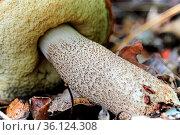 Closeup of the stem on a Boletaceae Mushroom. Стоковое фото, фотограф Zoonar.com/Amelia Martin / easy Fotostock / Фотобанк Лори