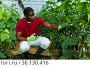 African american farmer harvesting cucumbers. Стоковое фото, фотограф Яков Филимонов / Фотобанк Лори