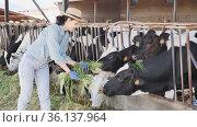 Positive asian woman farmer working in cowshed, feeds cows with grass. Стоковое видео, видеограф Яков Филимонов / Фотобанк Лори