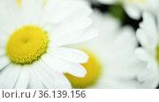 Close-up of bouquet wild chamomile flowers on the black. Key ready background. Slow rotation motion. Macro. Стоковое видео, видеограф Александр Маркин / Фотобанк Лори
