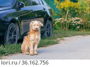 Young cute shaggy dog, a pet of the wheat terrier breed sits near a car in the village outdoors in summer. Стоковое фото, фотограф Светлана Евграфова / Фотобанк Лори