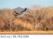 Sandhill crane (Grus canadensis) calling as it begins to land, Bosque del Apache National Wildlife Refuge, New Mexico, USA. Стоковое фото, фотограф Jack Dykinga / Nature Picture Library / Фотобанк Лори