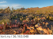 Drought stressed and dying Prickly pear cacti (Opuntia engelmannii), in the Tucson Mountains at evening light, Saguaro National Park, Arizona, USA. January 2021. Стоковое фото, фотограф Jack Dykinga / Nature Picture Library / Фотобанк Лори