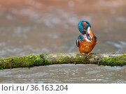 Kingfisher (Alcedo Atthis) adult preening, perched on branch over river, Lorraine, France, April. Стоковое фото, фотограф Michel Poinsignon / Nature Picture Library / Фотобанк Лори