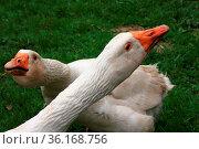 Zwei Enten - Ausschnitt - Hintergrund gruene Weide. Стоковое фото, фотограф Zoonar.com/Zoonar/J. Ehrlich / easy Fotostock / Фотобанк Лори