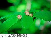 Spiky gall growths on a wild rose bush. Стоковое фото, фотограф Zoonar.com/Amelia Martin / easy Fotostock / Фотобанк Лори