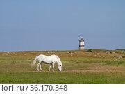 Schimmel weidet auf einer Wiese nahe der norwegischen Nordseeküste... Стоковое фото, фотограф Zoonar.com/Eder Christa / easy Fotostock / Фотобанк Лори
