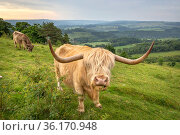 Highland cattle grazing calcarious grassland, helping to maintain an open habitat. Peak District National Park, Derbyshire, UK. June. Стоковое фото, фотограф Alex Hyde / Nature Picture Library / Фотобанк Лори