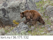 American black bear (Ursus americanus). Cinnamon color. Yellowstone... Стоковое фото, фотограф George Sanker / Nature Picture Library / Фотобанк Лори