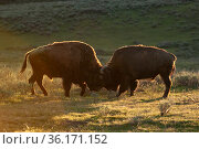 American buffalo (Bison bison) buffalo bulls sparring at sunset. Yellowstone National Park, Wyoming, USA. Стоковое фото, фотограф George Sanker / Nature Picture Library / Фотобанк Лори