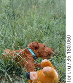 Young Irish Terrier, hunting dog pet walks in the summer outdoors, the puppy lies in the grass and plays with a soft toy. Стоковое фото, фотограф Светлана Евграфова / Фотобанк Лори
