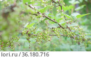 Green unripe currant on branches of a bush. A summer day in the garden. An orchard with berries and fruits. beginning of fruit flowering. maturity of the berries in garden. Future harvest close-up. Стоковое видео, видеограф Ирина Ткачук / Фотобанк Лори