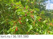 Созревающие ягоды шелковицы на ветке. Стоковое фото, фотограф Мария Кылосова / Фотобанк Лори