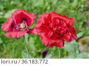 Цветущий красный махровый мак в саду крупным планом. Стоковое фото, фотограф Елена Коромыслова / Фотобанк Лори