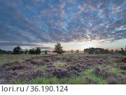 Heather (Calunna vulgaris), at sunrise, Klein Schietveld, Brasschaat, Belgium. Стоковое фото, фотограф Bernard Castelein / Nature Picture Library / Фотобанк Лори