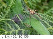 Nursery web spider (Pisaura mirabilis), Brasschaat, Belgium. Стоковое фото, фотограф Bernard Castelein / Nature Picture Library / Фотобанк Лори