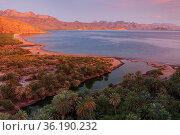 Date palm (Phoenix dactylifera), introduced palm, Agua Verde looking towards Loreto, Gulf of California (Sea of Cortez), Mexico, August. Стоковое фото, фотограф Claudio Contreras / Nature Picture Library / Фотобанк Лори