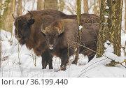 Two free ranging European Bison bulls in wintertime forest, Bialowieza... Стоковое фото, фотограф Aleksander Bolbot / easy Fotostock / Фотобанк Лори
