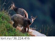 Chamois (Rupicapra rupicapra) Vosges Mountains, France , Gämsen Vogesen... Стоковое фото, фотограф Zoonar.com/Frank Fichtmüller / age Fotostock / Фотобанк Лори