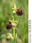 Blüte der Spinnen-Ragwurz (Ophrys aranifera), Erdorchidee, Besipiel... Стоковое фото, фотограф Zoonar.com/Georg / age Fotostock / Фотобанк Лори