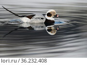 RF - Long-tailed duck or Old-squaw (Clangula hyemalis) male, Varanger Peninsula, Norway, Scandinavia (This image may be licensed either as rights managed or royalty free.) Стоковое фото, фотограф Staffan Widstrand / Nature Picture Library / Фотобанк Лори