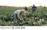 Portrait of young adult male farmer cutting broccoli on farm field. Стоковое видео, видеограф Яков Филимонов / Фотобанк Лори