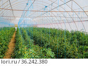 Tomatoes in the greenhouse. Tied tomatoes in the ranks of the greenhouse... Стоковое фото, фотограф Zoonar.com/Leonid Eremeychuk / easy Fotostock / Фотобанк Лори
