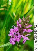 Closeup of beautiful purple wild orchids flower. Стоковое фото, фотограф Zoonar.com/Hilda Weges / easy Fotostock / Фотобанк Лори